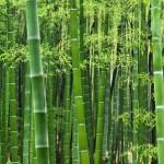 Bamboo (2)