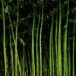 bamboo_00370255
